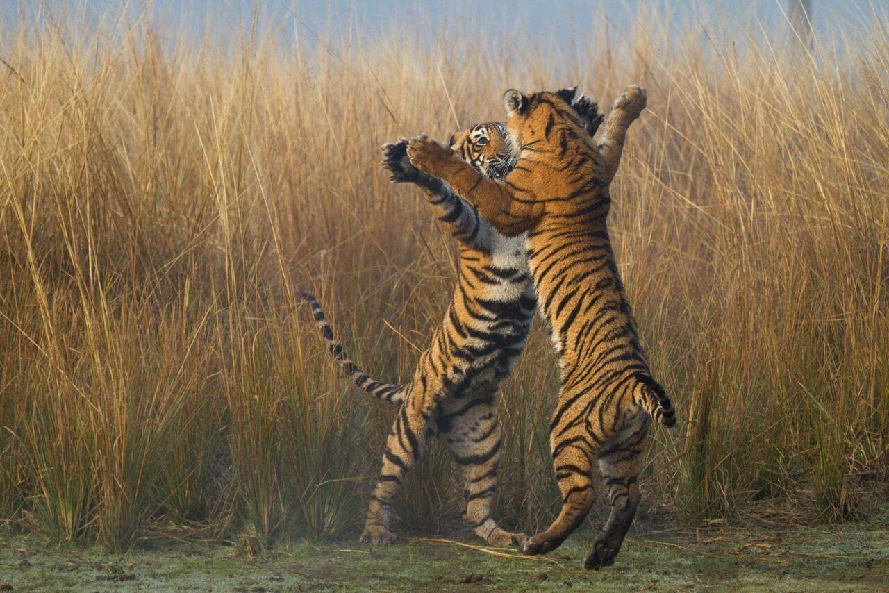 tiger-tango